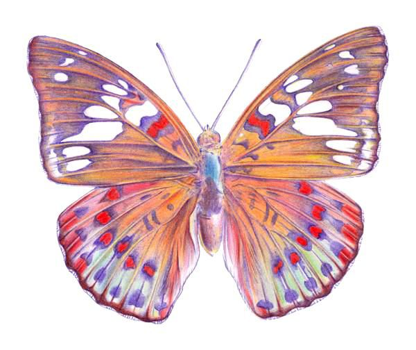 drawing a butterfly step 9 - Drawing And Colouring