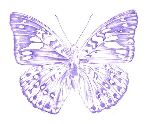 Butterfly Drawings: How To Draw A Butterfly
